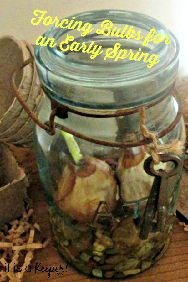 Forcing bulbs for an Early Spring-Hero-ItsaKeeper